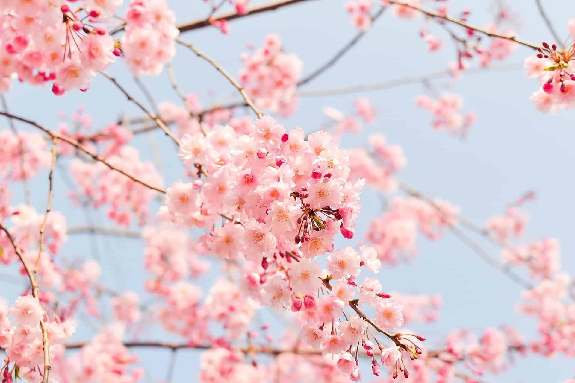 Kirschblüten Washino